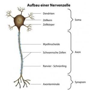 Aufbau einer Nervenzelle